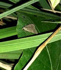 蛾の種類  写真の蛾について 種類が分かる方、ご教示ください。  7月に福岡県で撮影したものです。