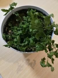 植物に関して初心者です。 頂き物のネフロレピスの葉が一昨日からチリチリになってしまいました。 ネフロレピスだろう、というのは調べたところ似たような葉だった為、もし違っていたらすみません。  他の観葉植物と一緒に室内の陽が当たる場所に置いて、水は土が乾いたらあげていました。 一昨日から急に葉がパリパリになっていたので寒さでやられてしまったのかなと思い、より暖かい場所に置いたのですが変わりないで...