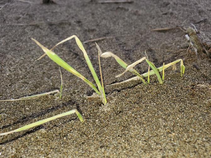 大麦の葉が黄ばんでしまいました。 大麦なんですが、この状態から元に戻ってくれると思いますか? 完全砂の田んぼで数日前大風で砂嵐になり、飛んだ砂で葉っぱが削られて、少し埋まってしまったような感じ...