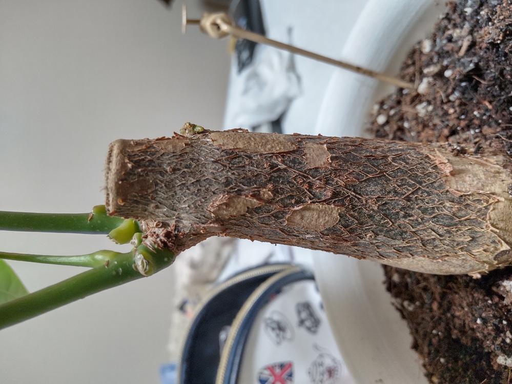 パキラの枝を増やすことは出来ますか? 左にしかないので右にも増やしたいです