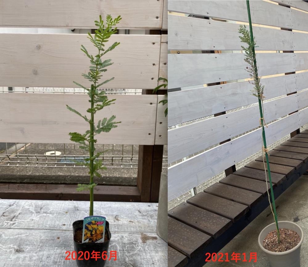 ミモザの成長で不安をかかえています。 写真の通り昨年の6月にミモザアカシアを購入しました。 幹?だけがどんどん伸びていき葉は上部分しか残っていません。 それでもちゃんと成長しますか?? このまま...