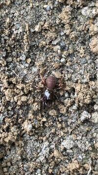 【閲覧注意】 このクモはなんというクモですか? 側溝から出てきました。
