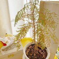 植物の育て方に関してです。 いま、シダ植物を育てています。 去年の6月頃に購入しました。  1月の初め頃から段々、萎れ初めて、いまは下の画像まで萎れてしまいました。 ここで質問です。ここから元の緑で生き生きとした植物に復活させるにはどうしたら良いのでしょうか?  また、自分の育て方をまとめますので、ダメなところや改善するべき点があれば教えてください!  ・気温 日中 26~28℃ 夜20℃弱...