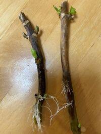 アジサイのアナベルの挿し木です。 いただいて去年の10月から水に差しておきましたらこのような状態になりました。 これは今鉢に植えてもいいでしょうか。 またこの梅雨からお花は咲くのでしょうか。