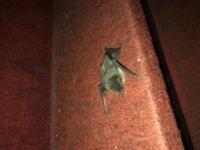 このコウモリの名前わかりますか? 家の中で飛んでいました。