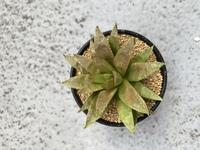 植物に詳しい方!!!  育てているハオルチアの元気がないように見えます。 室内の陽のあたる場所窓際に置いて、2週間に1度土がしっかり湿るくらいには水をあげています。  症状と改善方法を教えていただきたいです。よろしくお願いします。