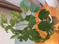 こちらの観葉植物の名前をご存知の方教えて下さい。数年前に購入しましたが、名前を忘れてしまいました。よろしくお願いします。