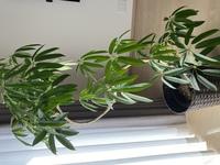 観葉植物の元気がありません。 アンガスティフォリアという植物で 葉っぱが垂れています。 購入して1ヶ月程度ですが、最初はピンと張っていた葉が下を向いています。  水やりは水やりチェッカーを使用して乾...