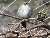 関東に住んでいますが、今日昼に公園で初めてこんな小鳥たちに出会いました。4羽ほどが一緒に行動していました。 鳥の図鑑をみるとアオジに似ているように思えましたが、アオジだと私の見た小鳥はお腹の色が白だったので、ちょっと違うかな?とも思えました。<https://navy.ap.teacup.com/felizmundo/1420.html>にさらにたくさんの写真を掲載しています。  この鳥がア...