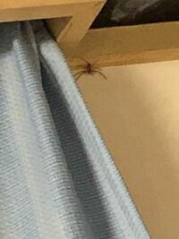 部屋に現れたこの虫はアシダカグモですか? けっこう速いです