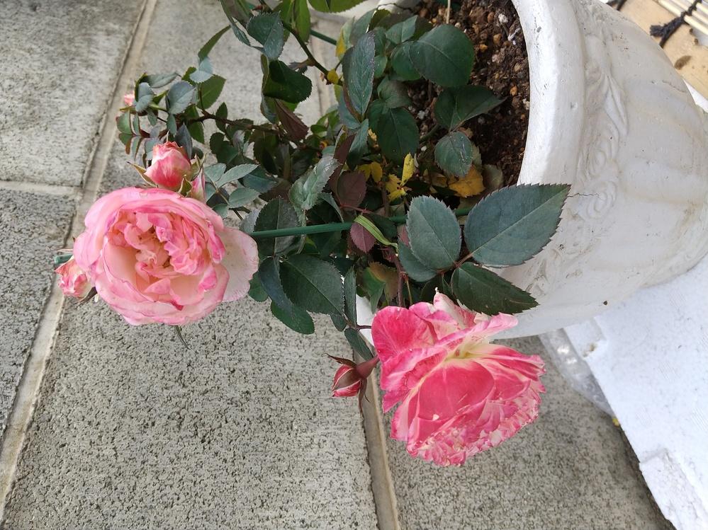 ホームセンターで値下げになっていたバラを購入してみました。具体的にはなんという名前のバラでしょうか。 4号鉢で売られていましたが、ミニバラでしょうか?ラベルには『バラ フォーエバー』とありますが...
