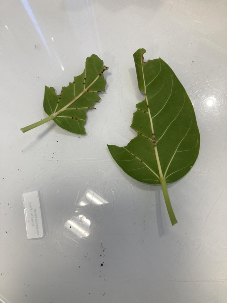 フィカスベンガレンシス の葉がこのようになっていました。 なんの虫てしょうか?