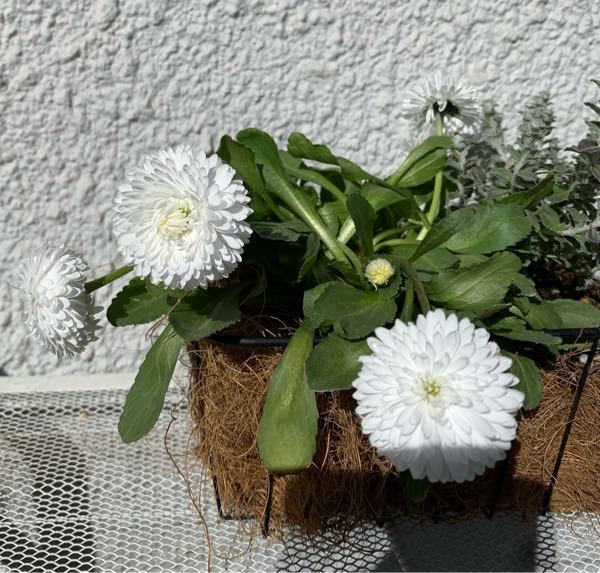 デイジーの花についての質問です。 デイジーを初めて育てたのですが、なかなか真っ直ぐに立ってくれません。 よく陽にもあて、水も毎日あげてるのですが、全くまっすぐに伸びないのは何故でしょうか? 葉っ...