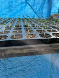 茎ブロッコリーを育苗して発芽したのですが現在茎の部分が2cmほどあります。これは徒長してますか?