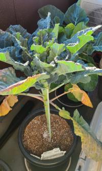 茎ブロッコリー(アレッタ)を初めて育てています。 順調に育っている様ですが、一番下の葉っぱだけ黄色く枯れた様になっています。 これは取ってしまうのと、そのままにしておくのとどちらが良いのですが?
