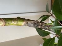 観葉植物の育成初心者です。 お店で購入してから1週間ほどですが、ツピタンサスの幹が黒ずんでいました。 これはどういう症状ですか?