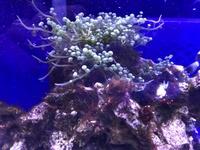 海水魚を飼っています。ライブロックで育っているこの海ぶどうのようなものなんでしょうか?駆除した方がいいですか? イソギンチャクや珊瑚もいます。