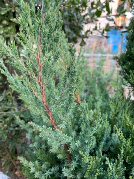 この木の名前をご存知の方いらっしゃいますでしょうか? 家庭のベランダで植木鉢で育てることはできますか? 年中緑でこのような感じなのでしょうか? ご教授下さい。