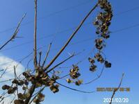 ツル状の昨年の枯れ木どうしても思い出せません、 岐阜県米田白山で、 撮影 20210220