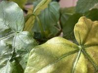 ウンベラータの葉の分かれ目の所に写真のような小さな茶色の点々と蜘蛛の巣のような糸がついています。最近葉の元気もない様に思います。 何が原因でしょうか?また対処法などありましたが教えて下さい。