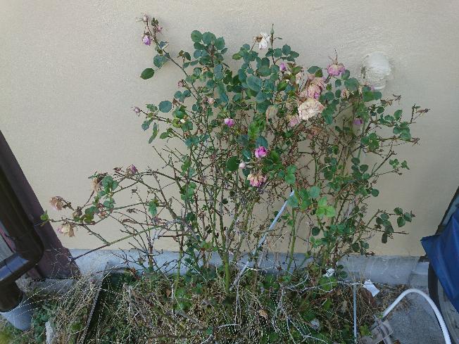薔薇について、そろそろ水やりや栄養剤や駆除剤を再開しようかと思うのですが、季節的にはまだ早いですかね?