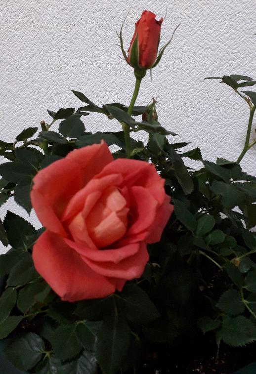 このバラの種類はなんですか?