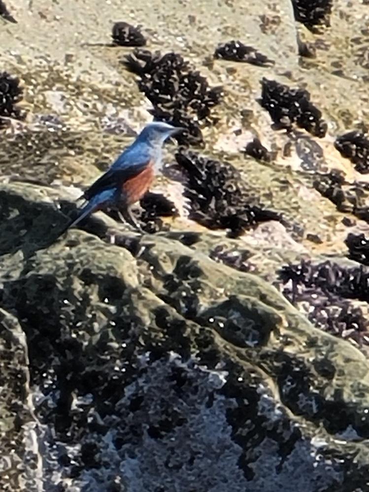 この鳥は何という鳥ですか? 犬吠埼の海岸にいました。 バードウォッチャーのような人が「あ!」と指差して熱心に見ていました。 よろしくお願いします。