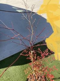 南天を育ててるんですが、上部が葉っぱが全部落ち、茎が赤くなってるんですが、これは腐っているのですか?切った方がいいんでしょうか?