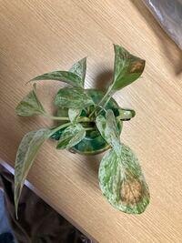 ハイドロで育てているポトスです 葉っぱが病気のような?茶色くなって枯れている? 他の葉も元気がないような 根腐れ?病気? 枯れた葉っぱは切った方がいいですか? よろしくお願いします!