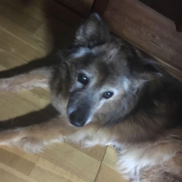 実家で昔飼っていた犬なのですが、拾ってきた子なので犬種がわかりません。気になり調べてみたのですが、わからなかったのでわかる方教えてくださいm(*_ _)m