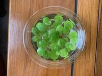 この浮き草の名前を教えてください。 アマゾンフロッグピットにしては濃ゆい緑色だなと思い、投稿してみました。