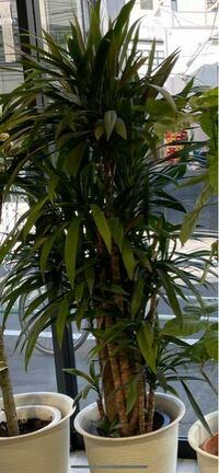 観葉植物に詳しい方( ; ; ) 写真のような観葉植物をいただいたのですが 名前は何でしょうか。。。  ちゃんと育ててあげたいので 分かる方よろしくお願いいたします!