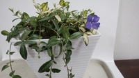 紫のかわいい花が咲きます。 名前を、教えて下さい。