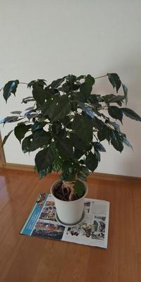 観葉植物をいただいたのですが 名前を忘れてしまったとのこと この植物の名前わかる方おりますか? 少し珍しいようです また育てる注意点などもお願いします