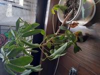 パキラの下の方の枝が画像のように下に取れてきているのですが、何故でしょうか? また、どうしてやればよいのでしょうか? お分かりの方、教えて下さい。