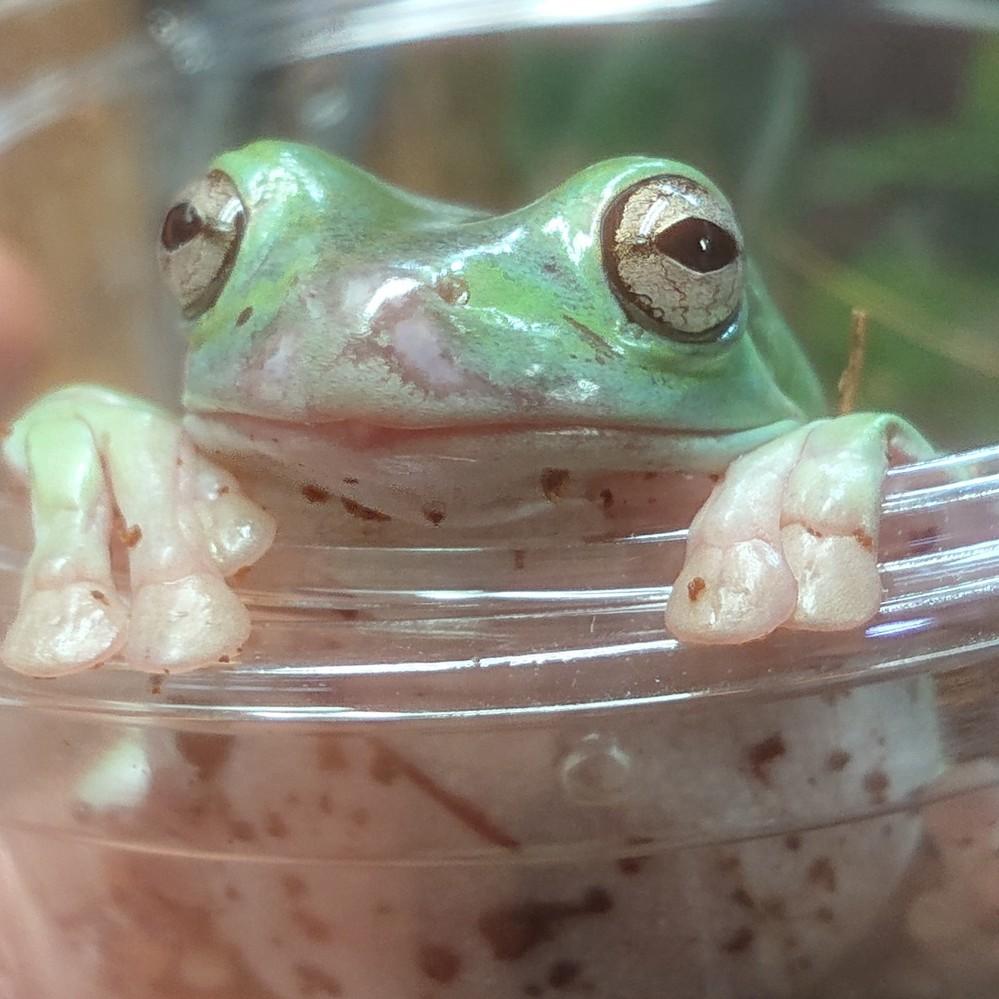 イエアメガエルの病気について質問です。 先日ショップでイエアメガエルを購入しました。 家に帰ってからカエルちゃんをよく見てみると鼻先が白く(肌色?)剥げた感じになっており、カエルの背中の表面も少...