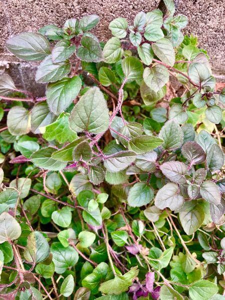 こちらの植物の名前を教えて下さい。 かなり昔に、友達からもらったのですが 増えすぎてきて、抜こうか悩んでいます。 春ごろにモスピンクの花が咲きます