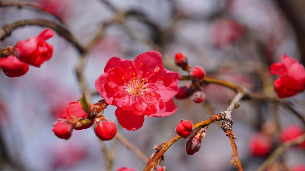 この赤い花の名前を教えてください。 4月下旬ごろ、岐阜県飛騨地方で撮影しました。 恐らく桜の花だと思うのですが…なんという花なのか調べても分かりません。 同じような花の形の、薄紅色の花の木の隣...