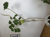 ウンベラータ でが、買って10年程です 葉が落ちたり、剪定したりで葉が多い時 少ない時ありましたが、今回何もして いないのに(新葉もあまり出てない) 葉が落ちて困っています  あと今回ではありませんが...