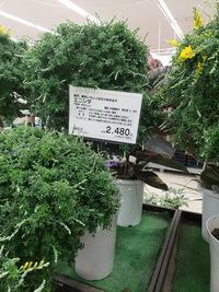 こんばんは。 エニシダという植物の育て方を教えてください。 店員さんに聞いたのですが詳しい方がいらっしゃらないとのことでしたのでこちらで質問させて下さい。  ホームセンターで このように7号鉢に入ったエ...