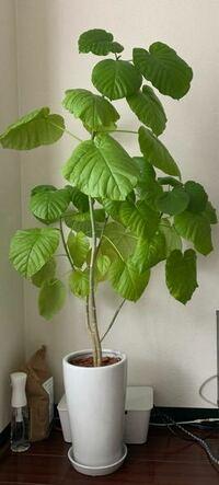 ウンベラータを育てています。ウンベラータ自体高さが150cm程あるのですが貰い物で…。植木鉢が何号か分かりません。 内寸直径18cm 高さが30cmの植木鉢です。 何号の植木鉢なのでしょうか? 暖かくなったら植え替えをしたいと 思っているのですが 次は何号の植木鉢を購入すればよいでしょうか?