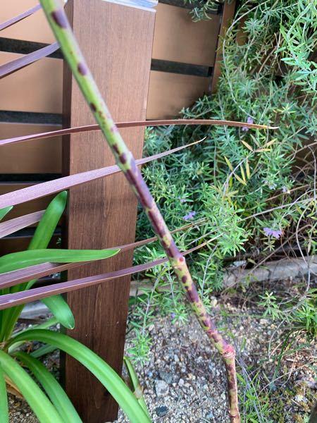 バラのスムースレディの茎がこんな感じです。 黒点病でしょうか? 茎にも薬剤散布すべきですか??(´;ω;`)