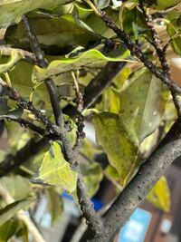 ルビーロウカイガラムシの駆除方法について 庭の木の細い枝にかなり多くのカイガラムシがくっついていました。調べてみた限り、ルビーロウカイガラムシという種類だと思います。 駆除したいのですが2、3mほどの木なので上の方の虫は手で落とすのは少し難しいです。 成虫を駆除できる薬品などはあるのでしょうか? またマシン油乳?は虫を窒息させて殺す効果があると聞いたのですが、今の時期でもマシン油乳をかけても...