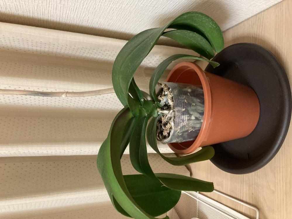 胡蝶蘭について お家にいる花の終わった胡蝶蘭について質問させていただきます。 花は冬になる前に終わり、しばらくは葉っぱも元気でした… 今は、写真のように葉っぱが下向きになってしまいました… 上の