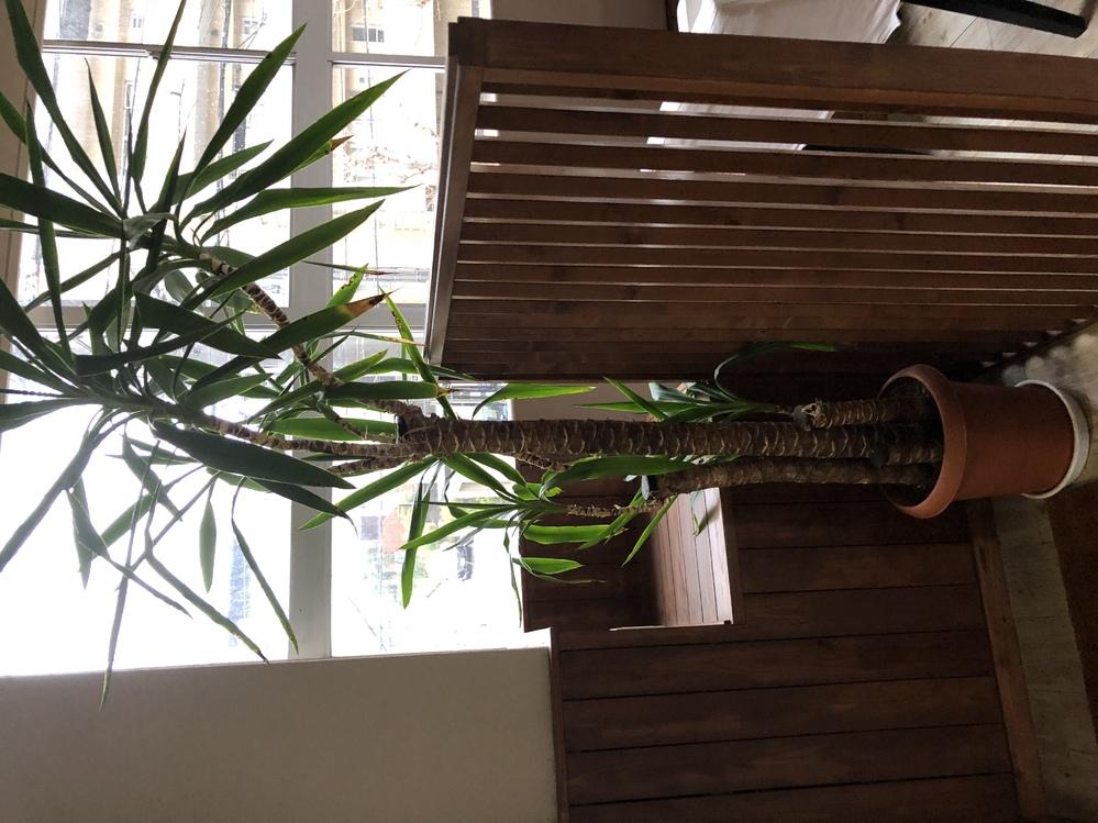 この観葉植物はなんという植物ですか? 頂きましたが育て方が分からず困っています.宜しくお願い致します。