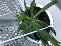 この植物はなんですか?  この植物の名前を知りたいです。 庭にいつの間にかはえていました。  タキイのワイルドフラワーの種を まいた場所の可能性がありますが、 タキイのワイルドフラワーで検索しても 似たような葉のものがありませんでした。  ※写真は鉢に移したあとのものです。