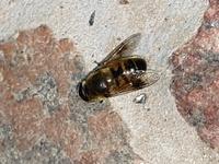 蜂?ハエ?田舎の別宅に来ましたが、居間で羽音が聞こえ、殺虫剤で殺しましたがこの虫は何でしょう?胴部分に毛が生えたような感じです。 実は隣家に巨大な蜂の巣があり、市役所に撤去してもらったばかりで、かなり敏感になっています。ご存知の方、教えてください。体長1.5cmほどです。
