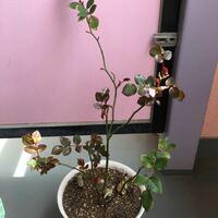 鉢植えバラの手入れについて。 2019年2月から、切り花の挿木から育てたバラです。 一昨年も昨年も知恵袋でアドバイスいただき、 2020年は剪定はせず、蕾はソフトピンチし根を充足させ、大きい鉢買ってこなきゃな〜と思いつつ、ついつい先延ばしでここまできてしまいました。 今年に入って黄色くなった枝葉は落としましたが、どんどん濃い色の新芽が伸びてきています(・・;)   今からどのように手入れする...