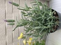 ラベンダー フレンチラベンダーの鉢は、 素焼き鉢が、良いですか?  普通のプランターに寄せ植えか? 素焼き鉢に、そのまま植え替えるか?  迷ってます。
