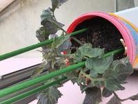 ミニトマトを育ててるのですが、花が咲いたあと実になりません。  もうこの苗は実らないのでしょうか。 実るようにするには、どうしたらいいですか?